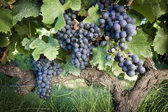 Grape Vines Stock Photo