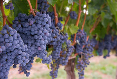 Lush Farm Grapevine Harvest Ready Vineyard Grapes Stock Image