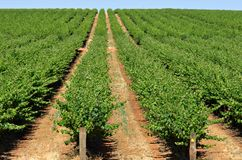 Grape vines. Rows of grape vines reaching out over the horizon Royalty Free Stock Images