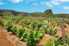 Grape Vines. Growing in the Algarve region of Portugal Stock Photography