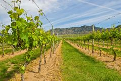 Grape Vines. Rows of grape vines in early spring before the bloom Royalty Free Stock Photography