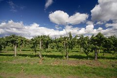 Grape vines. And blue sky at a winery Royalty Free Stock Photos