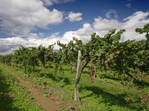 Grape vines. And blue sky at a winery Royalty Free Stock Photography