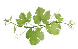 Free Grape Vines Royalty Free Stock Images - 3876069