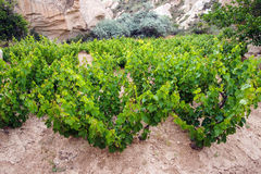 Free Grape Vines Royalty Free Stock Images - 49481149