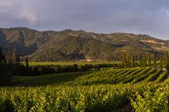 Free Grape Vines Stock Images - 56580024