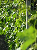 Grape Vines. A line of grape vines in a vineyard Royalty Free Stock Images