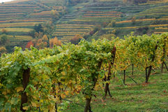 Grape-vines in autumn stock photos