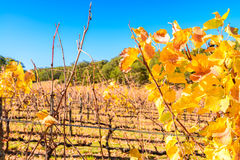 Grape vines in autumn Royalty Free Stock Photography