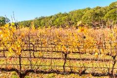 Grape vines in autumn Stock Photo