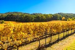 Grape vines in autumn Royalty Free Stock Photos