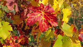 Grape vines in autumn. With red yellow and green leaves loire valley france Royalty Free Stock Images