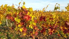 Grape vines in autumn. With red yellow and green leaves loire valley france Royalty Free Stock Photo