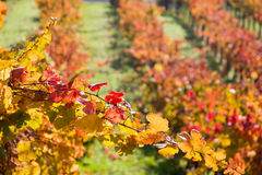 Grape vines in autumn scene. Scenic view of grape vines receding into distance, autumn scene Stock Photos