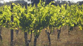 Grape Vines with back light in the Margaret River Region. royalty free stock photos