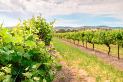 Grape vines in Barossa Stock Images