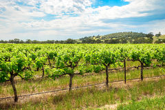 Grape vines in Barossa Royalty Free Stock Photos