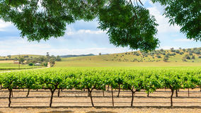 Grape vines in Barossa Royalty Free Stock Images
