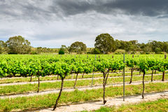 Grape vines in Barossa Stock Photography