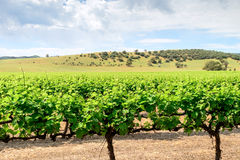 Grape vines in Barossa. Valley, South Australia Royalty Free Stock Photos