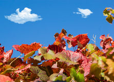 Grape vines and blue sky Stock Image