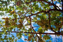 Grape vines with blue sky as background Stock Image