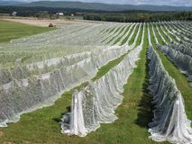 Rows of vines covered with netting royalty free stock photo
