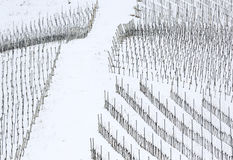 Grape vines. Covered by snow Royalty Free Stock Photo