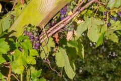 Grape vines in english garden stock photos
