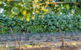Grape vines in the evening sun Stock Image