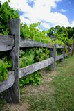 Grape Vines on Fence. Grape vines growing on wooden fence Stock Images