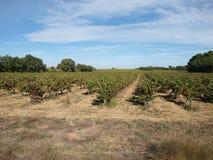 Grape vines field landscape. Grape vines landscape with blue sky background Royalty Free Stock Photo