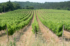 Grape vines. A fields of grapevines in France Stock Photos