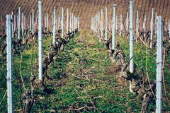 Grape vines freshly pruned. In a vineyard Stock Photography