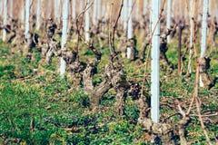 Grape vines freshly pruned. In a vineyard Royalty Free Stock Images