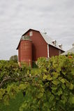 Grape vines in front of an old red barn Stock Images