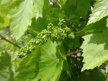 Grape vines Stock Photos