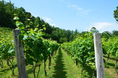 Grape Vines Royalty Free Stock Images