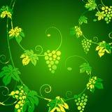 Grape vines green background. Stock Image