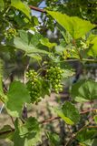 Grape Vine, Green. Grape vines, green grapes, growing grapes in the garden stock photos