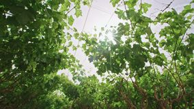 Grape vines growing under a net house in the Negev desert in Israel. Grape vines growing under a net house stock video