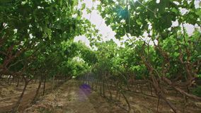 Grape vines growing under a net house in the Negev desert in Israel. Grape vines growing under a net house stock video footage