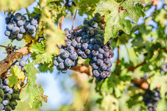 Grape vines at harvest time Royalty Free Stock Image