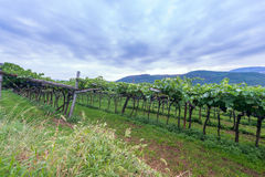 Grape vines on hill in south tyrol Royalty Free Stock Images