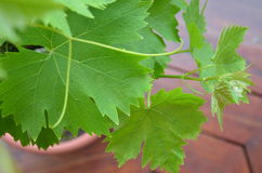 Grape vines Stock Images