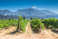 Grape vines on a hot summer day in Western Cape, South Africa Stock Photo