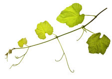 Grape vines isolated Royalty Free Stock Image