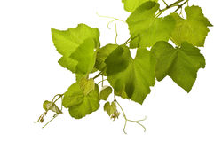Grape Vines Isolated Stock Images