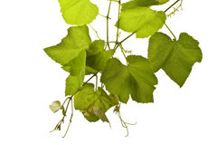 Grape vines isolated. On white Royalty Free Stock Images