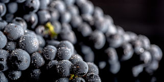Grape vines isolated , water drops ,macro shot , black backgroun. D , ideal grapes bunch Royalty Free Stock Photography
